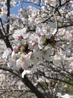 春ですね(*^^*)画像