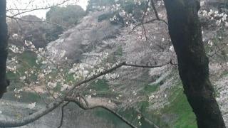 千鳥ヶ淵の桜🌸満開!画像