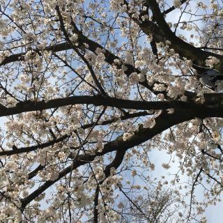 桜が見頃で画像