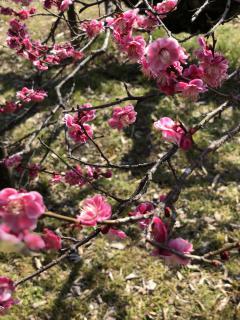桜の前に梅を見に画像