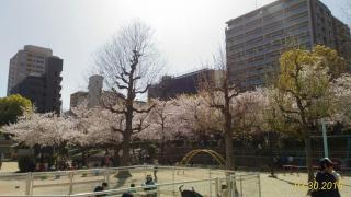 公園の桜、満開w画像