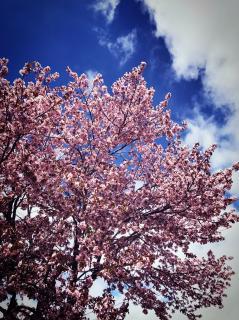☆桜☆画像