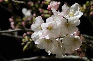 夜桜★画像