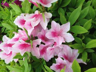 つつじの花が咲き始めました画像