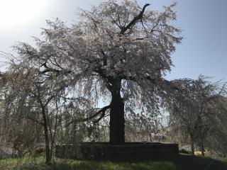 夜桜と同じ所でお昼に撮りました画像