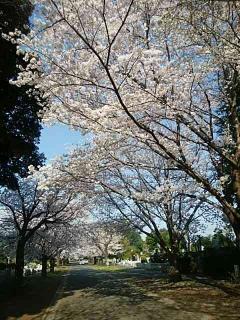 桜が満開🌸画像