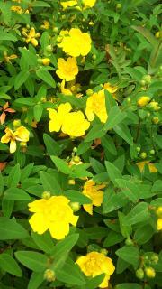 YELLOW  FLOWER***♪画像