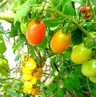 アイコトマト画像