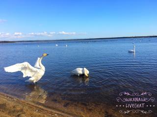 白鳥が浮かぶ湖。画像