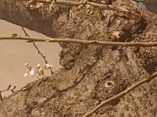 桜の開花画像