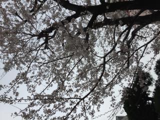 桜が綺麗画像