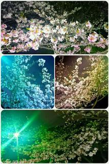 夜桜�A画像