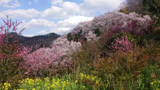 花見山公園画像