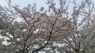 お花見(*^^*)画像