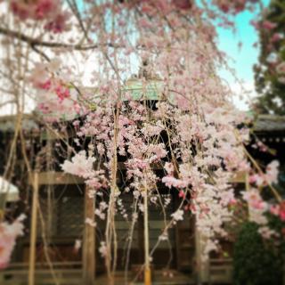 インしますねパート�@毘沙門天枝垂桜画像