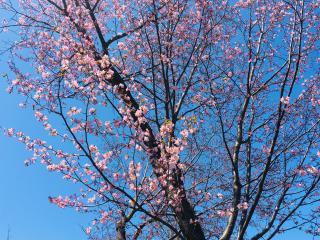 やっと桜が開花しましたん♪(#^^#)画像