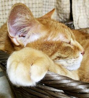 ネコさんの耳画像