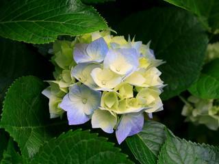紫陽花😌画像