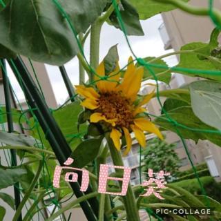 向日葵(*'ω'*)