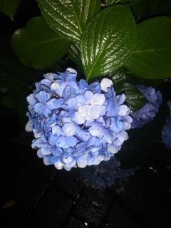 夜の紫陽花画像