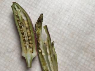 虫喰いオクラ収穫してみた画像