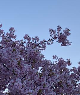 梅の花。画像