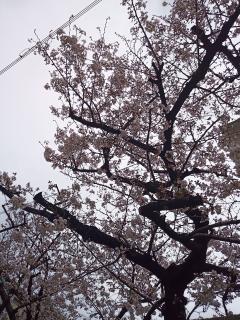 お昼の梅(*´∀`*)画像