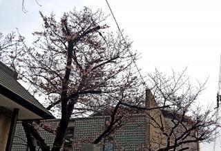 梅の花が咲ました(*´∀`*)画像