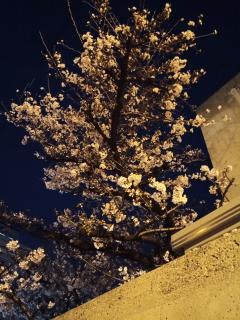 梅の花、満開かな(*´∀`*)画像