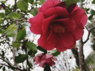 冬の花、椿画像