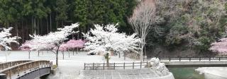 桜満開〜♪画像