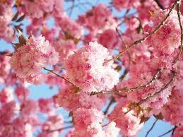 桜ひらひら画像