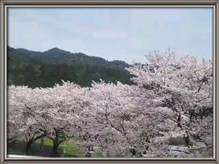 桜〜♪画像