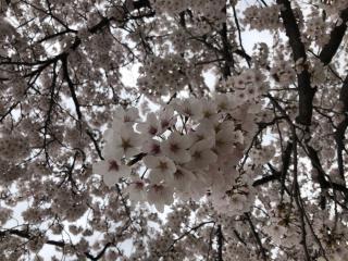 やっぱり桜ってキレイですね🌸🌸🌸画像