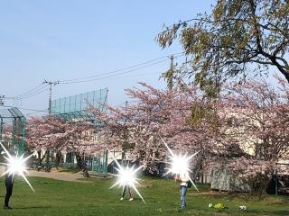 近所の公園の桜🌸画像