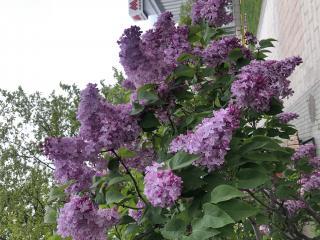 ライラックの花画像