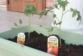 プランターで野菜を栽培画像