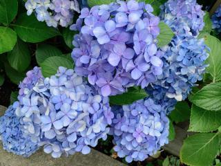 紫陽花💠画像