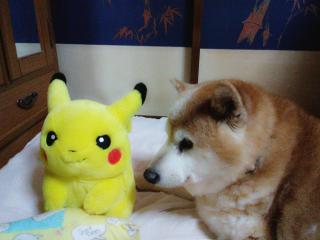 我が家の柴犬です(^^)画像