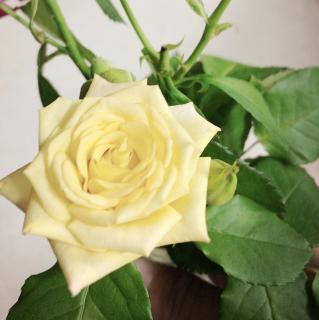 黄色いバラの花言葉画像