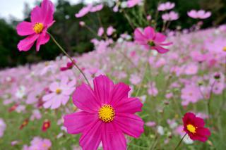 秋桜畑♬画像