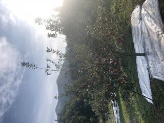 りんごの木画像