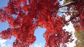 真っ赤に染まる紅葉。画像