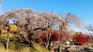 桜咲く画像