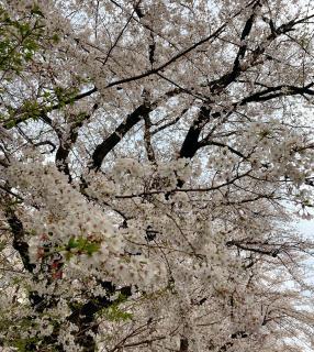 降るように。桜画像