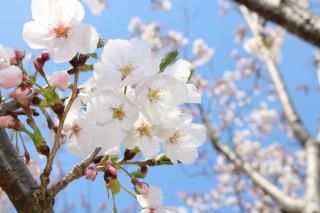 桜がきれいです画像