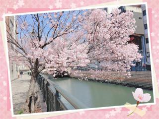 桜開花画像