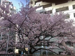 こちらも桜が咲きました〜^_^画像