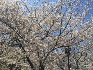 桜キレイ🌸画像