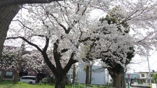 桜見に行けました♪画像